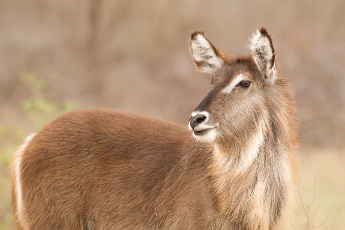 Young Female Waterbuck by Trevor McCall-Peat
