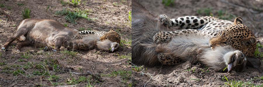Rudi-Hulshof-Leopard-Kill-1