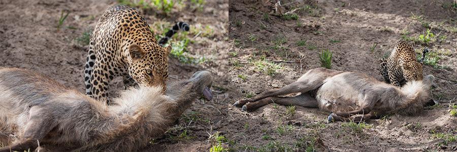 Rudi-Hulshof-Leopard-Kill-2