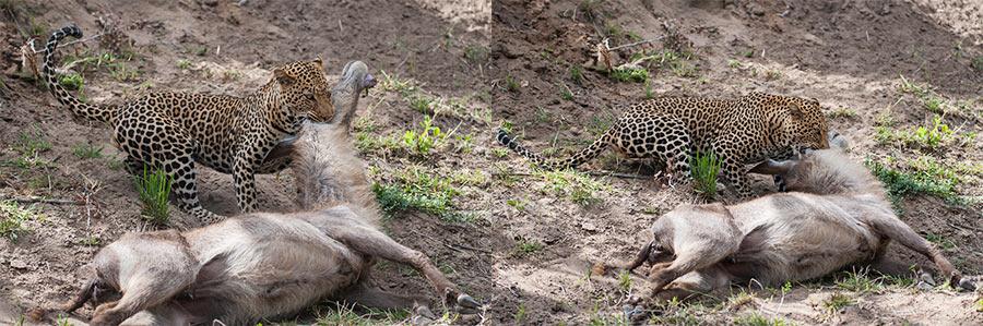 Rudi-Hulshof-Leopard-Kill-4