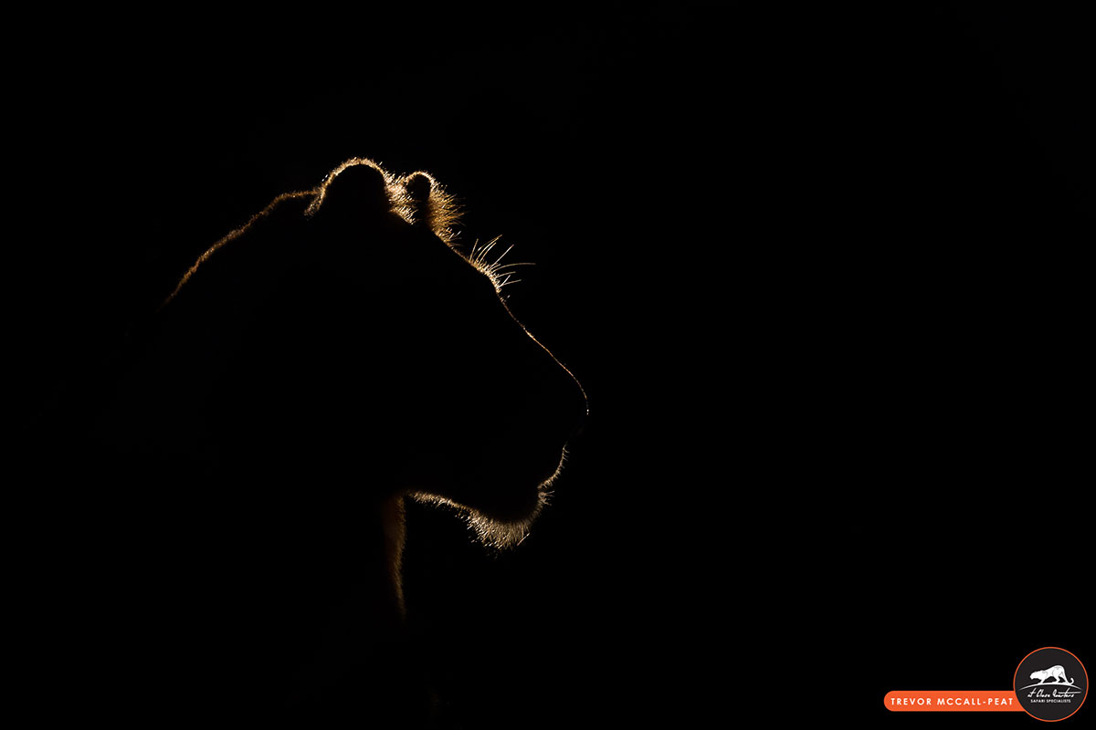 lioness-in-the-dark