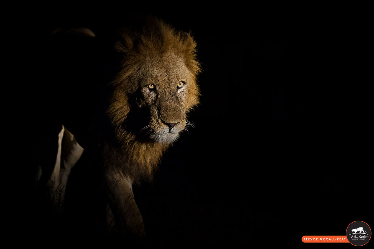 low-light-lion
