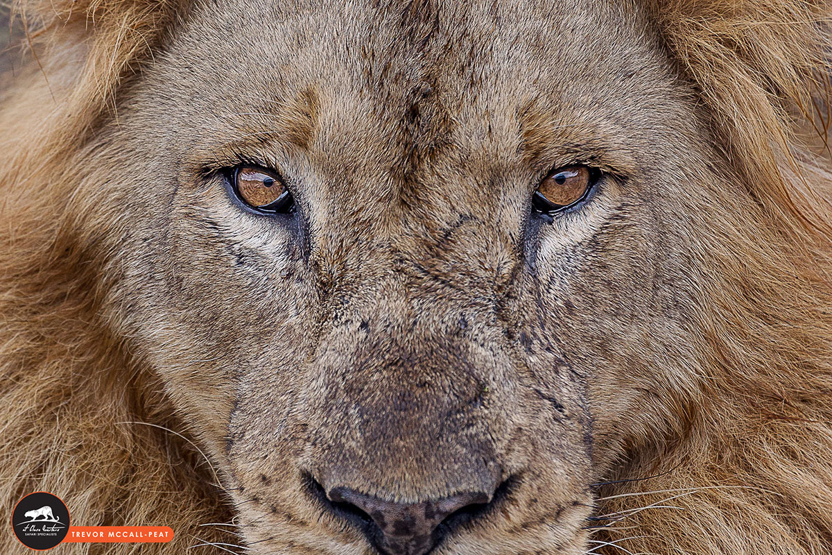 male-lion-head-shot-zoomed-in(quality)
