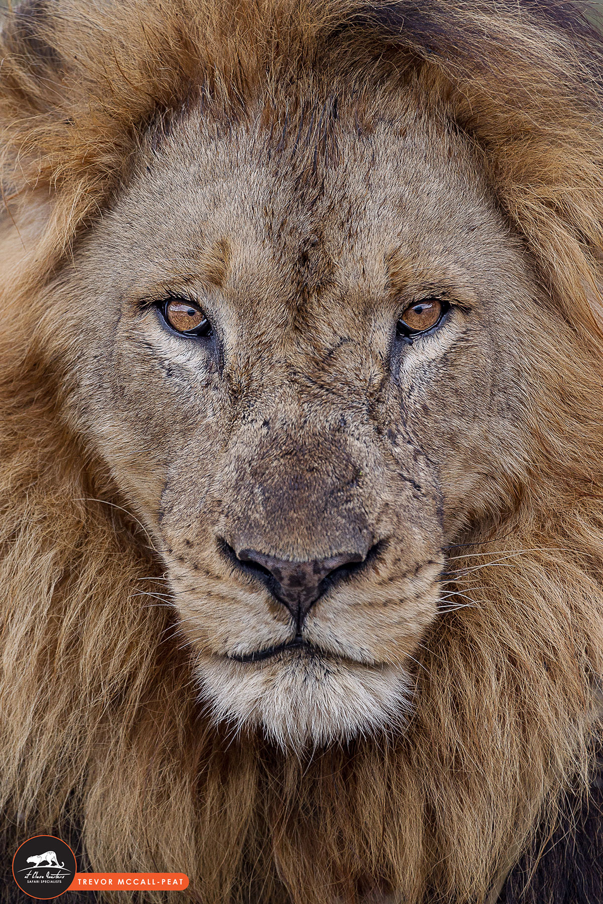 male-lion-head-shot