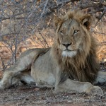 Kevan Dobbie - Abercrombie Male - Lion lying down and looking ahead