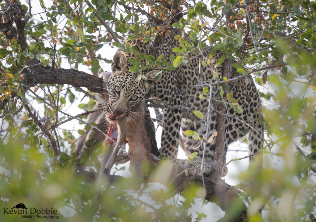 Kevan Dobbie - Indaba - Leopard in tree with blood on mouth